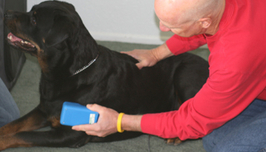 Cold laser canine physical therapy