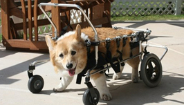 Canine dog wheelchair rehab therapy